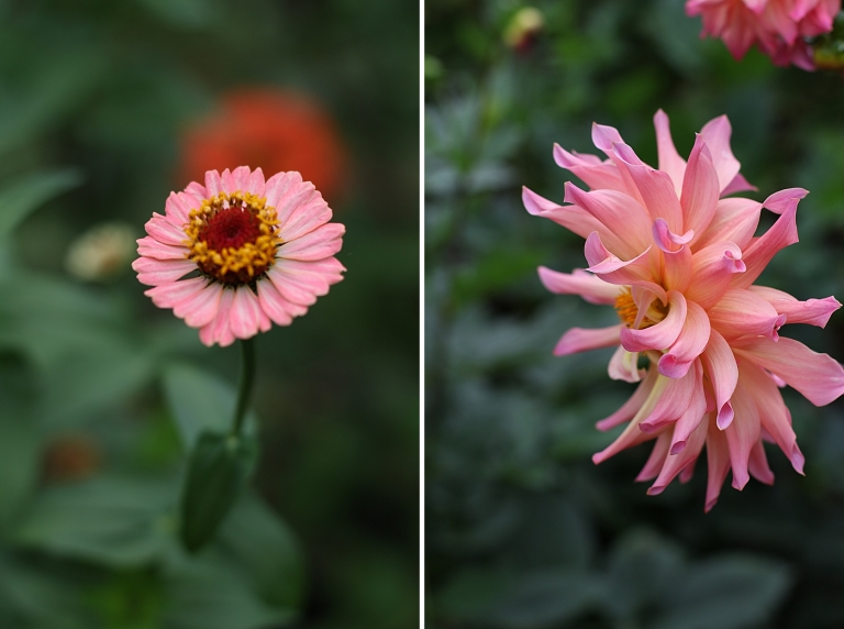 a coral zinna and a coral dahlia